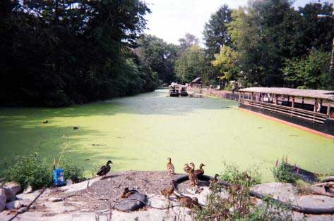 Mallard Ducks on the temporary construction dam in front of Lock 11